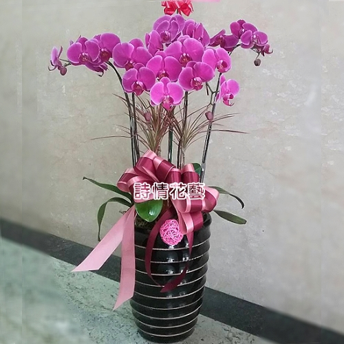 E060高雅蘭花祝賀蘭花喜慶蘭花開幕喬遷盆栽