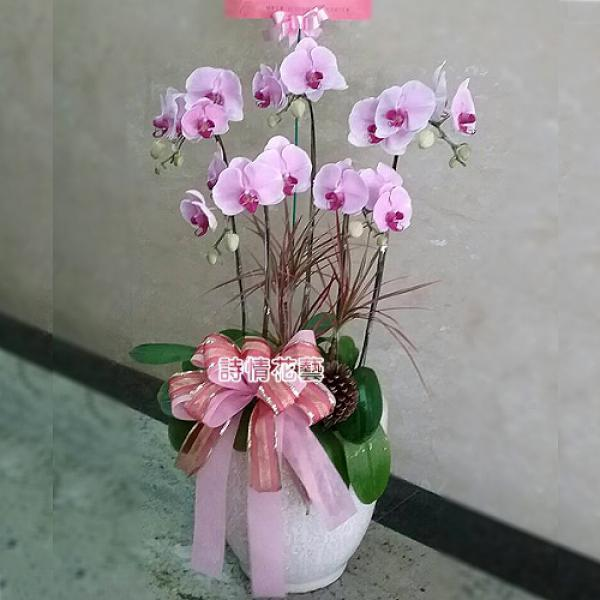 E061高雅蘭花祝賀蘭花喜慶蘭花開幕喬遷盆栽