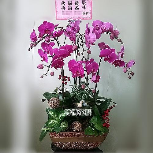 E062高雅蘭花祝賀蘭花喜慶蘭花開幕喬遷盆栽