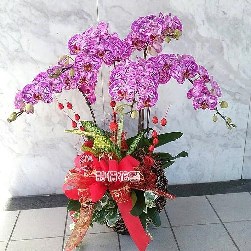 E064高雅蘭花祝賀蘭花喜慶蘭花開幕喬遷盆栽