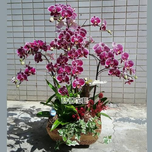 E065高雅蘭花祝賀蘭花喜慶蘭花開幕喬遷盆栽