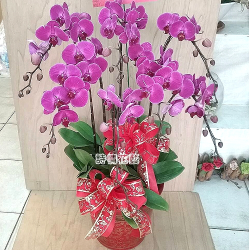 E072高雅蘭花祝賀蘭花喜慶蘭花開幕喬遷盆栽