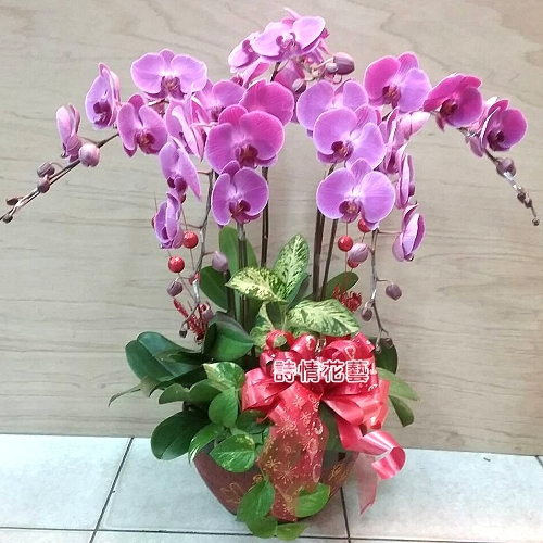 E075高雅蘭花祝賀蘭花喜慶蘭花開幕喬遷盆栽