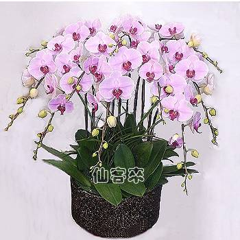 【O-717】蘭花盆栽:蝴蝶蘭組合盆栽,開幕落成賀禮、喬遷、祝賀盆栽