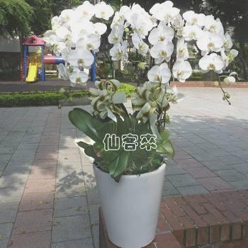 【O-1006】10株蝴蝶蘭組合盆栽-蝴蝶蘭組合盆栽喪禮弔唁蝴蝶蘭盆栽