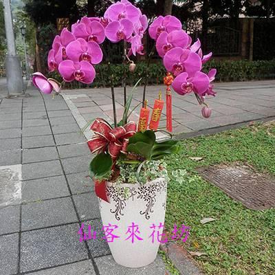 【O-621】蝴蝶蘭組合盆栽:祝賀蘭花盆栽喜慶盆栽開幕喬遷蘭花盆栽