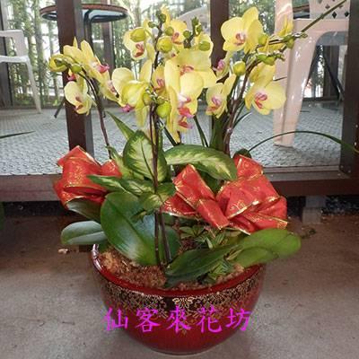 【O-641】蘭花盆栽:蝴蝶蘭花盆栽黃蝴蝶蘭(富樂黃金)6株