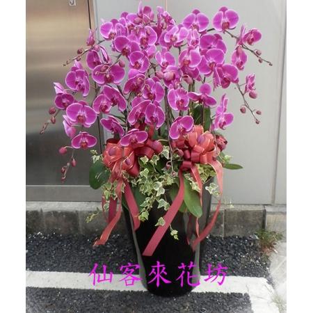【O-656】紅蝴蝶蘭(瑞利美人特級蝴蝶蘭)x12株