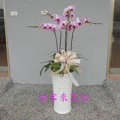 【O-524】經典紅蝴蝶蘭-5株