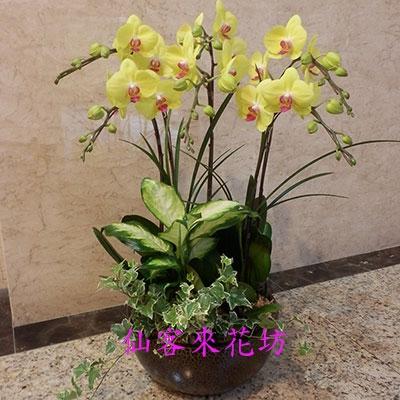 【O-698】黃花蝴蝶蘭-富樂夕陽(6株)