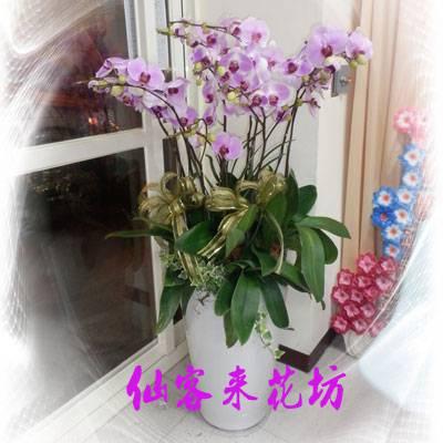 【O-503】粉色日本姑娘蝴蝶蘭(10株)
