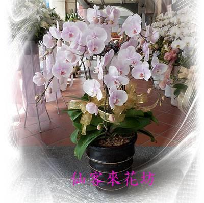 【O-510】淺粉色清秀佳人蝴蝶蘭(7株)
