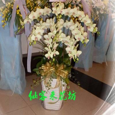 【O-505】特殊品種哇莎米,綠花紅心蝴蝶蘭(8株)