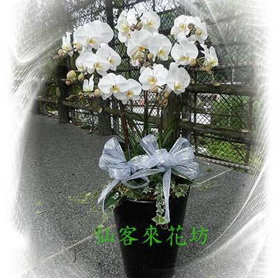 【O-518】大輪白花黃心蝴蝶蘭(8株)
