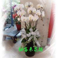 【O-506】大輪白花黃心蝴蝶蘭(8株)