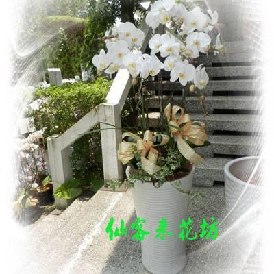【O-508】大輪白花黃心蝴蝶蘭(8株)