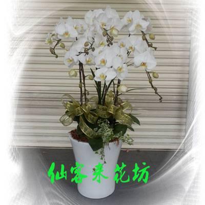 【O-504】大輪白花黃心蝴蝶蘭(7株)