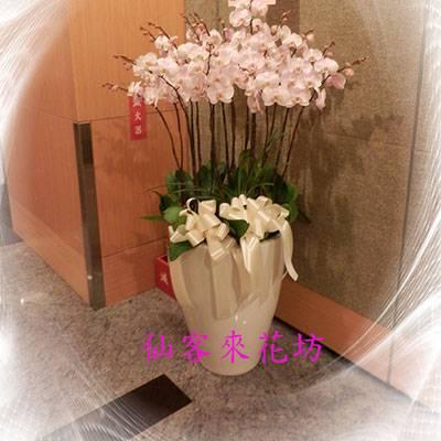 【O-509】大輪白花黃心蝴蝶蘭(15株)