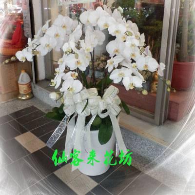 【O-507】大輪白花黃心蝴蝶蘭(8株)