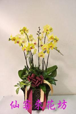 【O-084】黃花蝴蝶蘭-富樂黃金(8株)
