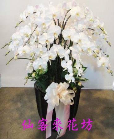 【O-092】大輪白花黃心蝴蝶蘭(15株)