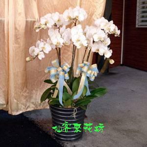 【O-231】大輪白花黃心蝴蝶蘭(7株)