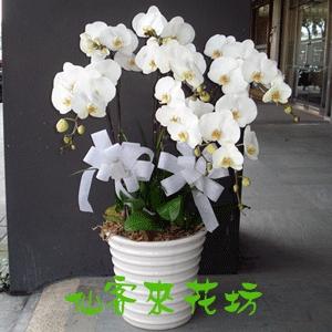 【O-306】大輪白花黃心蝴蝶蘭(8株)