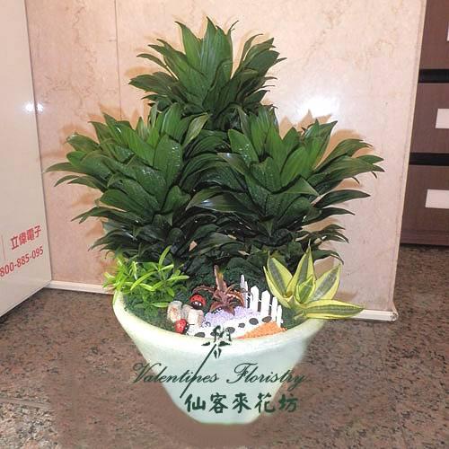 【P-165】組合盆栽:室內盆栽-桌上型盆栽-創意組合盆栽:阿波羅