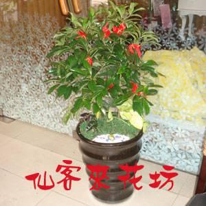 【P-143】組合盆栽:桌上型盆栽-創意組合盆栽:黃金萬兩組合盆栽