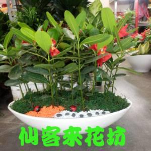 【P-090】組合盆栽:桌上型盆栽-創意組合盆栽:龍珠果(福木)