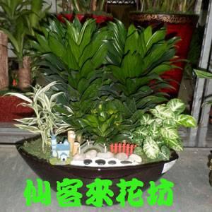 【P-083】組合盆栽:室內盆栽-桌上型盆栽-創意組合盆栽:阿波羅