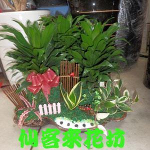 【P-080】組合盆栽:室內盆栽-桌上型盆栽-創意組合盆栽:阿波羅