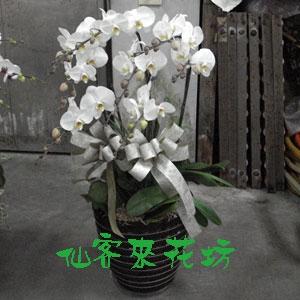 【O-274】大輪白花黃心蝴蝶蘭(7株)