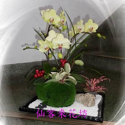 【O-355】蘭花盆栽:祝賀蝴蝶蘭花盆栽、開幕祝賀蝴蝶蘭花盆栽