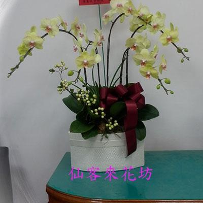【O-521】蘭花盆栽:蝴蝶蘭花盆栽、祝賀蝴蝶蘭花盆栽、開幕祝賀蝴蝶蘭花盆栽