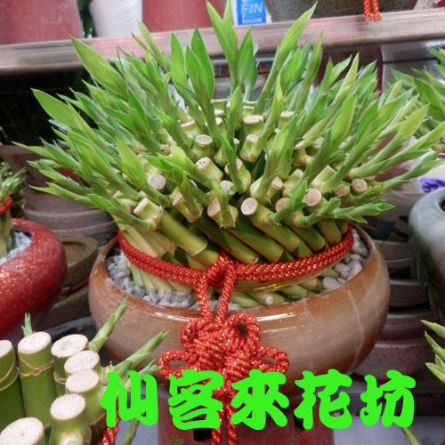 【L-140】開運竹,開運盆栽-幸運竹-室內盆栽-桌上型盆栽