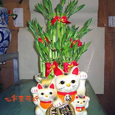【L-022】開運竹,開運盆栽-幸運竹-室內盆栽-桌上型盆栽-開運招財開運竹盆栽