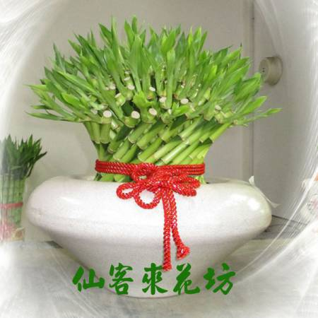【L-101】開運竹,開運盆栽-幸運竹-室內盆栽-桌上型盆栽