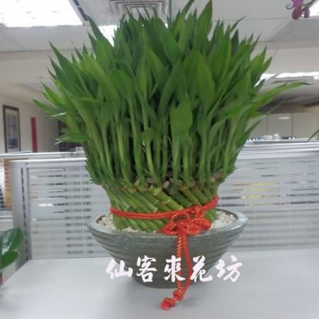 【L-104】開運竹,開運盆栽-幸運竹-室內盆栽-桌上型盆栽
