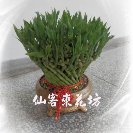 【L-106】開運竹,開運盆栽-幸運竹-室內盆栽-桌上型盆栽