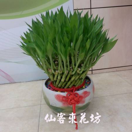 【L-108】開運竹,開運盆栽-幸運竹-室內盆栽-桌上型盆栽