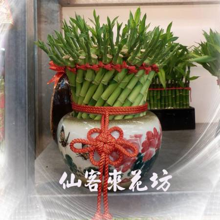【L-164】開運竹,開運盆栽-幸運竹-室內盆栽-桌上型盆栽