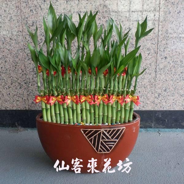 【L-109】開運竹,開運盆栽-幸運竹-室內盆栽-桌上型盆栽