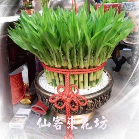 【L-159】開運竹,開運盆栽-幸運竹-室內盆栽-桌上型盆栽