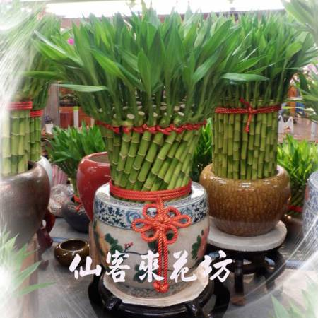 【L-158】開運竹,開運盆栽-幸運竹-室內盆栽-桌上型盆栽