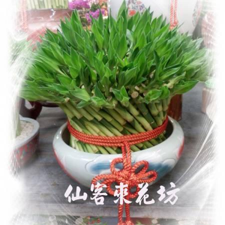 【L-155】開運竹,開運盆栽-幸運竹-室內盆栽-桌上型盆栽