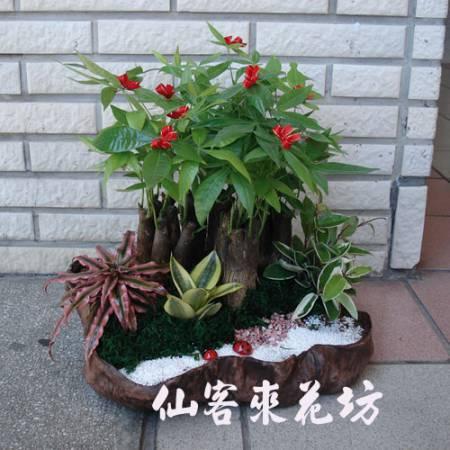【P-020】發財樹(馬拉巴栗),開運盆栽-室內盆栽-桌上型盆栽