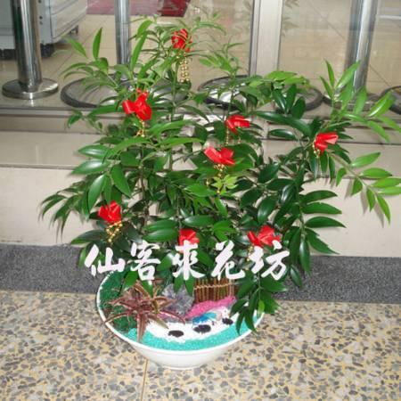 【P-021】日本艾草(竹柏),開運盆栽-室內盆栽-桌上型盆栽