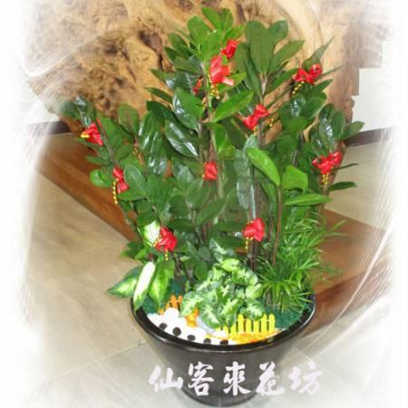 【P-022】金錢樹組合盆栽,開運盆栽-室內盆栽-桌上型盆栽