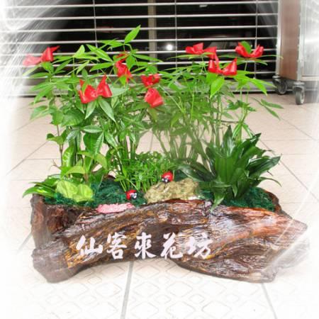 【P-023】發財樹(馬拉巴栗),開運盆栽-室內盆栽-桌上型盆栽
